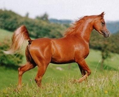 الخيول العربية