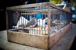 طيور وعصافير الزينة