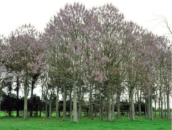 اشجار الباولونيا
