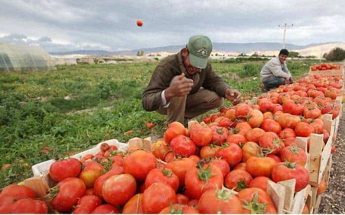 مشروع توريد الطماطم لمحلات الكشري