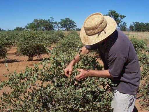 زراعة الجوجوبا